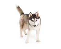 Energiczny Przyglądający Syberyjskiego husky pies obrazy stock