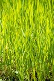 Energy plant szarvasi-1 grass Stock Photo