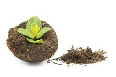 Energy tea puer Stock Photo