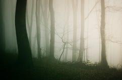 Enevoe através das árvores na floresta assombrada misteriosa de Dia das Bruxas Fotos de Stock