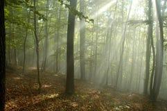 Enevoe na floresta Imagens de Stock Royalty Free