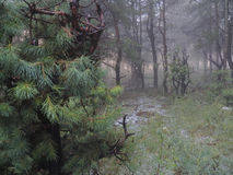 Enevoe na floresta e no baixo pinho no plano do primeiro plano Imagens de Stock Royalty Free