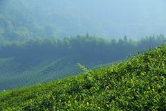 Plantando o chá Imagem de Stock