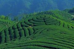 Plantando o chá Fotografia de Stock Royalty Free