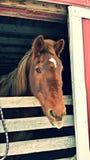 Enfaldig häst Fotografering för Bildbyråer