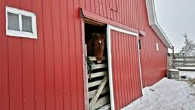 Enfaldig häst Arkivbild