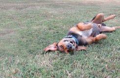 Enfaldig hund som spelar rullning i gräs Royaltyfri Foto