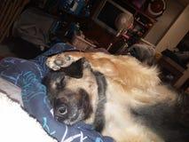 Enfaldig sova hund Arkivbild