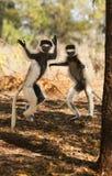 Enfaldiga skämtsamma dansa Sifaka makier Arkivbild