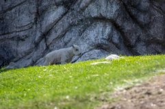 Enfant d'isolement de chèvre de montagne rocheuse Photos libres de droits