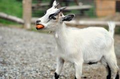 Enfant de chèvre Photo libre de droits