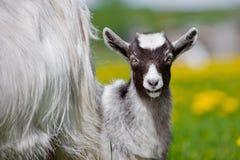 Enfant de chèvre dehors Photographie stock libre de droits