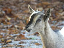 Enfant de chèvre domestique Photographie stock libre de droits