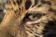 Enfant de léopard d'Extrême-Orient Photographie stock