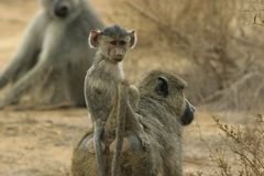 Enfant en bas âge de babouin Photographie stock libre de droits