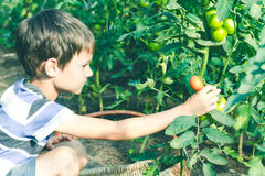 Enfant heureux sélectionnant les légumes frais dans le jardin au jour d'été Famille, sain, faisant du jardinage, concept de mode  Photo libre de droits
