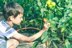 Enfant heureux sélectionnant les légumes frais dans le jardin au jour d'été Famille, sain, faisant du jardinage, concept de mode  Image stock