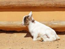 Enfant menteur de chèvre Photos stock