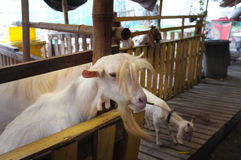 Enfant mignon de chèvre dans la ferme, ferme de concept, animal, voyage Thaïlande Photographie stock