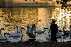 Enfant parlant aux cygnes en eau de rivière d'or d'heure photographie stock