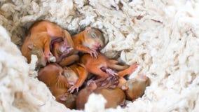 Enfant sauvage d'écureuil de bébé Photographie stock libre de droits