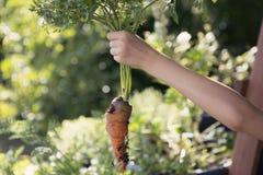 Enfant supportant une carotte récemment récoltée photos stock