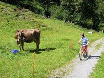 Enfant sur une bicyclette observant un pâturage de vache Photographie stock