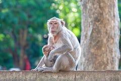 Enfantez Crabe-manger le macaque chargeant son bébé sur la barrière concrète Photo stock