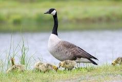 Enfantez l'oie de Canada gardant les hatchlings nouveau-nés, la Géorgie, Etats-Unis Photos stock