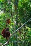 Enfantez l'orang-outan Utan et le bébé s'asseyant sur un arbre dedans images stock