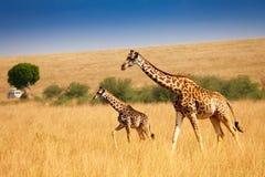 Enfantez la girafe marchant avec le petit veau dans la savane Images stock