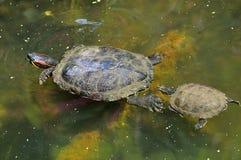 Enfantez la natation de tortue et de fils dans l'étang Photo libre de droits