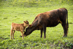 Enfantez la vache à côté de son veau de bébé frôlant sur un pré Photos libres de droits