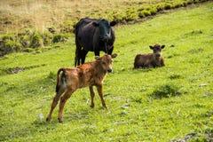 Enfantez la vache à côté de son veau de bébé frôlant sur un pré Photo stock
