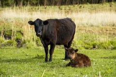 Enfantez la vache à côté de son veau de bébé frôlant sur un pré Image libre de droits