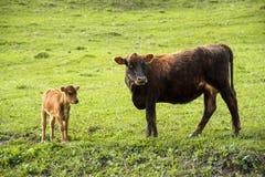 Enfantez la vache à côté de son veau de bébé frôlant sur un pré Image stock
