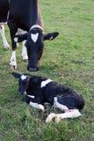 Enfantez la vache et le veau du Holstein juste soutenus dans l'herbe photographie stock libre de droits