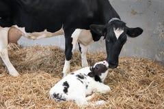 Enfantez la vache et le veau noir et blanc nouveau-né en paille à l'intérieur de grange de ferme néerlandaise Image stock