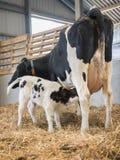 Enfantez la vache et le veau noir et blanc nouveau-né potable en paille à l'intérieur de grange de ferme néerlandaise Photo stock