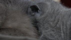 Enfantez le chat allaitant ses bébés, vue de plan rapproché banque de vidéos
