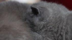 Enfantez le chat allaitant ses bébés, vue de plan rapproché clips vidéos