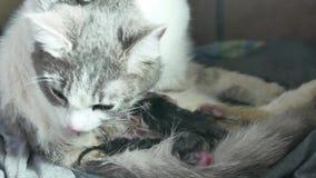 Enfantez le chat pelucheux enceinte donnent naissance et les chatons nouveau-nés de bébé lait boisson de leur mode de vie de sein banque de vidéos