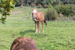 enfantez le cheval avec son poulain un jour d'automne en septembre près du stu Images libres de droits