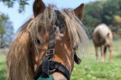 enfantez le cheval avec son poulain un jour d'automne en septembre près du stu Photos libres de droits