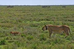 Enfantez le collet par radio s'usant de lion, avec l'animal Photographie stock libre de droits
