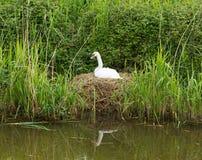 Enfantez le cygne sur le nid par des roseaux sur une berge Photos libres de droits