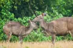 Enfantez le faon de toilettage de cerfs communs de Sambar sous la pluie Ba tropical de forêt photo stock