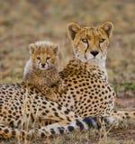 Enfantez le guépard et son petit animal dans la savane kenya tanzania l'afrique Stationnement national serengeti Maasai Mara photos stock