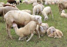 enfantez les moutons alimentant son agneau en troupeau des moutons blancs Image stock