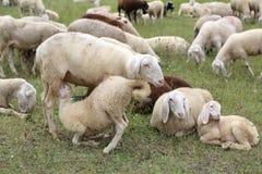 enfantez les moutons alimentant son agneau en troupeau des moutons blancs Images stock